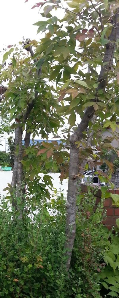 この木の名前を教えてください。 よろしくお願いします。