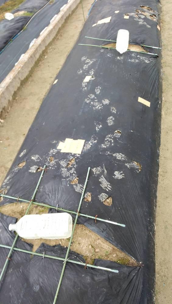 知人宅の畑に獣の足跡がありました。 なんの足跡でしょうか… 周辺にタヌキや猫はよくいますが…