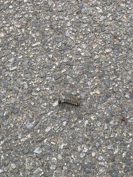 通学路にこんな毛虫がうじゃうじゃといるんですけど、なんの毛虫かわかる方、ご回答お願いします。