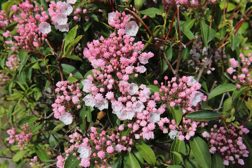 公園の樹の花の名前教えて下さい お願いします 近所のバラ公園にいきました。バラのそばに星のような蕾を付けた樹がありました