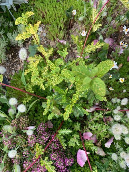 この植物の名前は何でしょうか。 ランナー?が伸びてきて、どう処理するか悩んでいます。 切ってしまっていいものでしょうか?(;´▽`)