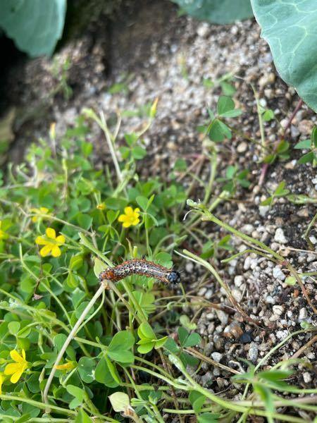 これは何という虫の幼虫ですか? 教えて虫博士!