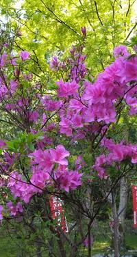 ツツジに詳しい方、お教え頂けましたらありがたいです。 庭にツツジを植えようと、ホームセンターにいきましたが、どれも色が悪く、花の数もすくないものばかりでした。 がっかりして散歩していましたら近くのお寺にイメージどおりのツツジがさいていました。 このつはなんというツツジでしょうか。 たくさん花が咲いているのは、そういう種類なのでしょうか。 それとも手入れがよいからでしょうか。 よろしくお願いします。