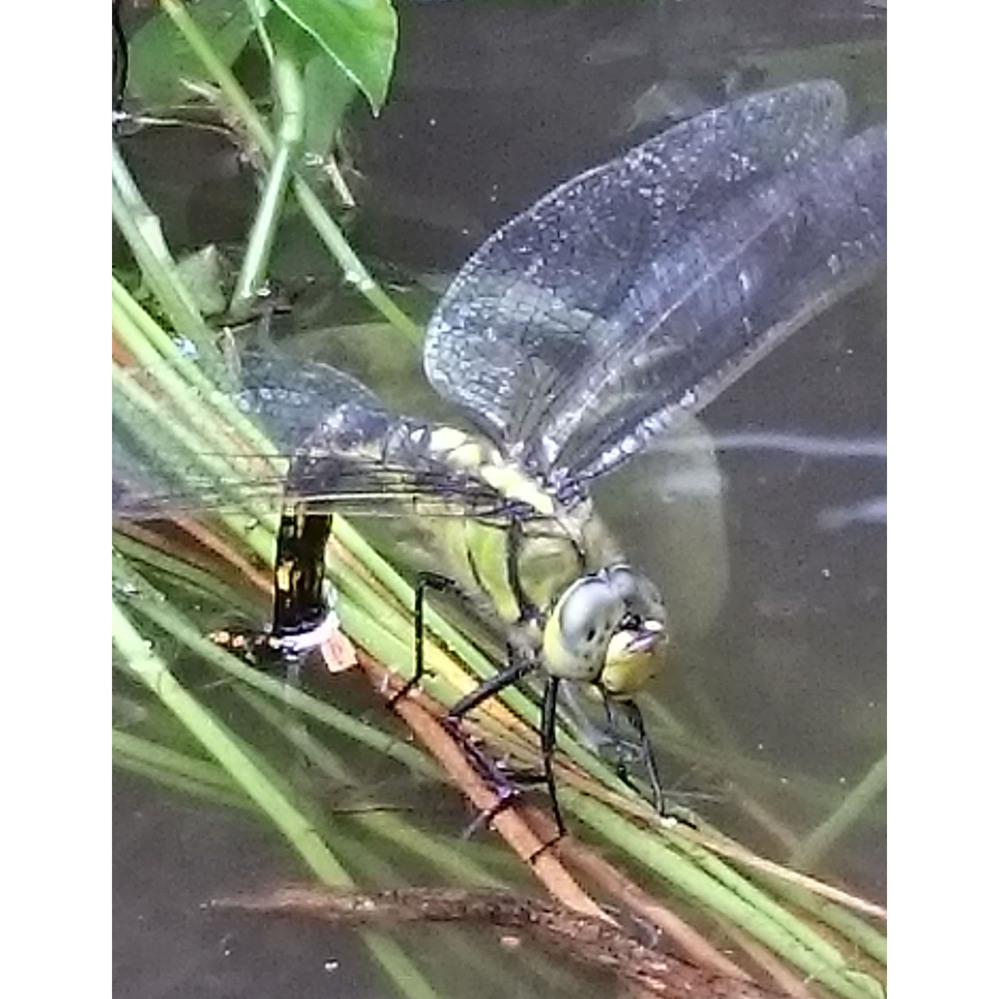 自宅の池にトンボが産卵していたのですが、なんというトンボでしょうか? オオシオカラトンボはよく来るのですが、それより少し大きいようでした。 可能ならヤゴを育てたいと思って卵が産み付けられた草を切って容器に取っています。(餌は生ミジンコでどうかと思っています) 分かる方がいたらよろしくお願いします。