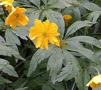 この黄色い花の名前を教えてください。 青森県十和田市の家庭で咲いていた花です。 花は3~4cm程度で、花弁はたくさんあります。 草丈は、ニリンソウ程度(10数センチ~20数センチ) 葉は輪状に付いているようで、先端に切れ込みがあります。 写真を付けておきます。よろしくお願いします。