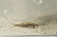 石川県の用水路で捕まえました。 何という魚でしょうか?体長1.5〜2センチくらいです。 同じ場所で、タイリクバラタナゴを捕まえたことがあります。  調べてみたところヤリタナゴかな…と思うのですが、どうでしょうか?
