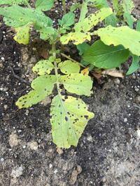 じゃがいもの葉の黒い斑点は病気ですか? 写真で検索しても、区別がつかなくてわかりません。よろしくお願いします。