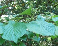 木の名前を教えてください、 岐阜県米田白山で、 撮影20210503