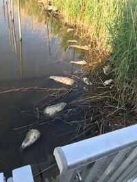 魚に詳しい人教えてください。 最近、川に50cm以上はある魚がたくさん死んでいます。 これはなんという魚なんですか? また、なぜこんなに死んでるのかも知りたいです!!