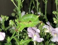 このイモムシはなんの幼虫かお分かりになる方、いらっしゃいますか? 写真が悪くてすみません。 体長は3センチくらいです。