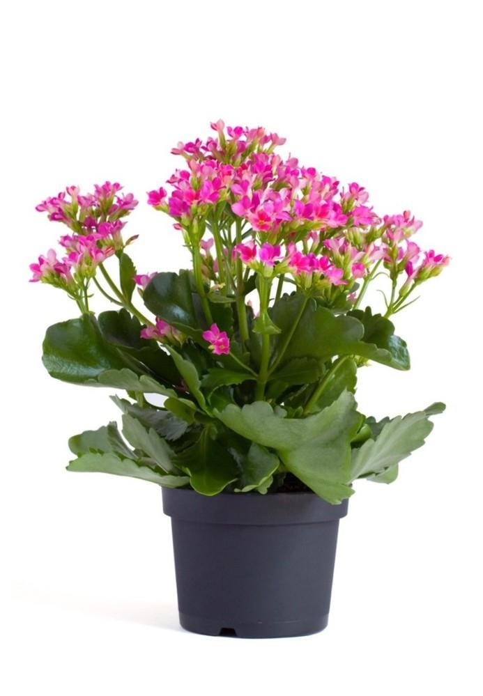 画像のようなカランコエを育てています。 うちのカランコエは、葉も大きく枚数が多く、花が2〜3個ついた茎が3〜4本ひょろひょろと伸びてしまっています。 もらってきた当初から1年半程経つので、剪定な...