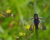 こちらの昆虫の名前を教えて下さい。本日つい先程、野原でツノトンボかウスバキチョウか分からない花に好んで止まる昆虫を撮影しました。何という種類かご教示お願い致しますm(_ _)m。