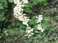 花の名前を教えて下さい。 5月3日撮影です。 石垣に垂れ下がるように咲いてる アジサイに似た花です。 ご存知の方、教えて下さい。