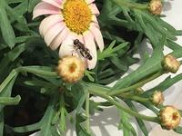 花壇に多く飛んでいます 何の虫でしょうか? 花壇の土を掘り起こすと、ハエの蛹をたまに見かけますが、ハエでしょうか?