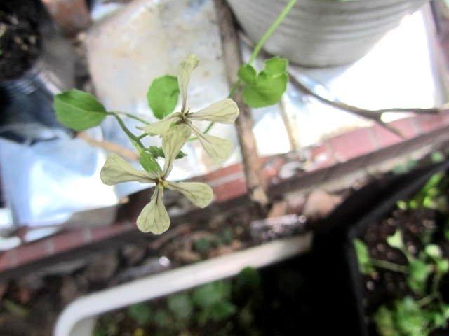 この植物の名前を教えてください。 4枚の花弁 白い花 茶色の葉脈 春に咲く