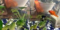 ホームセンターの金魚すくいをしました。金魚の種類ってわかりますか? 出目金らわかるんですけど、琉金赤いのは琉金かなって思って3色のがわからないんですがわかりますかね?