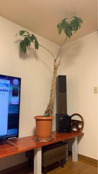 この植物が何か分からないまま育てている知人がいます。どんどん成長してる様ですが、なんかバランスがあまり良くない様です。ここからの写真しかないのですが、この植物の名前を知っている方教えてください!