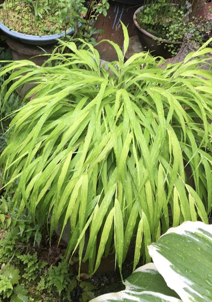 以前みたこの植物が欲しくて、探したいのですが、名前がわかりません。 笹の葉のようでしたが、何という名前かご存知の方いらっしゃいませんでしょうか?
