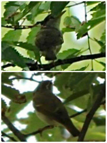今日撮った写真ですが、何の鳥か分かりますか? 2枚とも同じ鳥です。目の上に白い線が見えます。