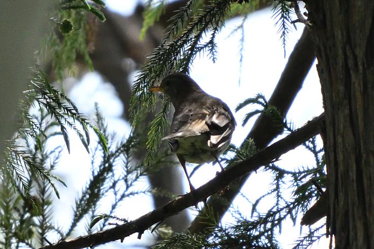 この鳥の名前はムクドリですか? 調べてみましたがいまいちスッキリしませんでした。よろしくお願いします