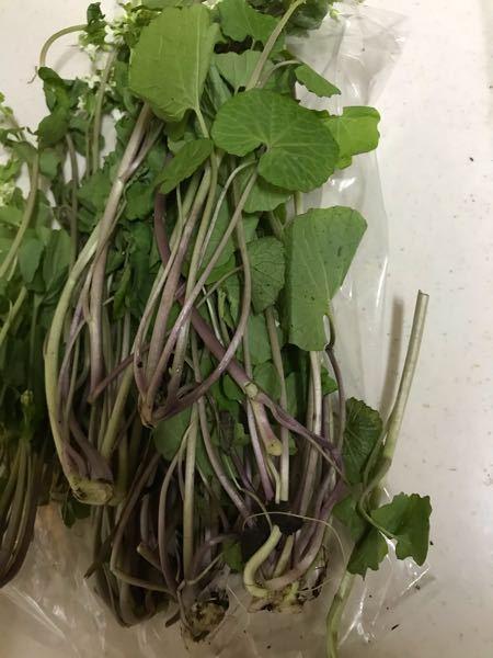 葉わさびかどうか診断お願いします。 産直で葉わさびを買ったのですが、茎が紫色で、他の植物でないか不安です。昨年まで別の産直で買っていた葉わさびの茎は紫ではなかったと思います。 葉わさびに似た毒草などあるのでしょうか? 山菜にお詳しい方、教えてください。