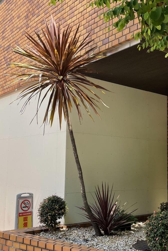 こちらの赤色の植物2種類の名前を教えてください! 下はコルジリネかなと思っているのですが、、いかがでしょうか?