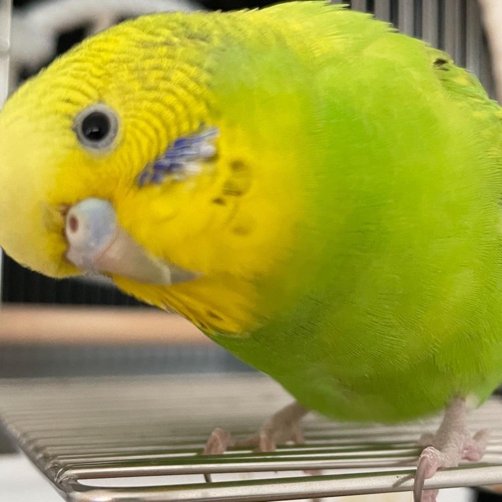 セキセイインコの種類、性別について教えてください。 生後10ヶ月で、アイリスリングがなく、鼻のろうまくは薄いブルーです。 羽の模様からスパングルグリーン(ダブルファクター?)かと思いましたが、アイリスリングが出ないことや鼻の色がはっきりしない点で違うかもしれないと思いました。 お分かりになる方がいらっしゃいましたらよろしくお願いいたします。