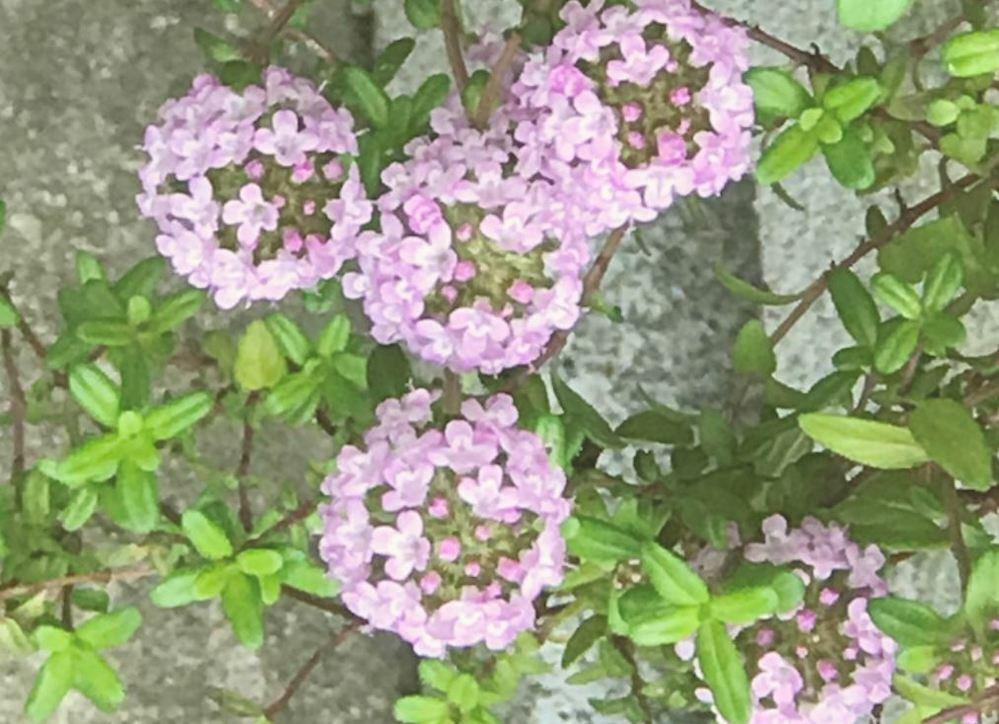 お花の名前を教えてください つる状だと思いますが・・・・名前が分かりません