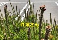 この、つくしみたいに伸びた植物の名前は何ですか? 撮影場所は兵庫県で撮影日時は2021年5月3日です。 よろしくお願いします。