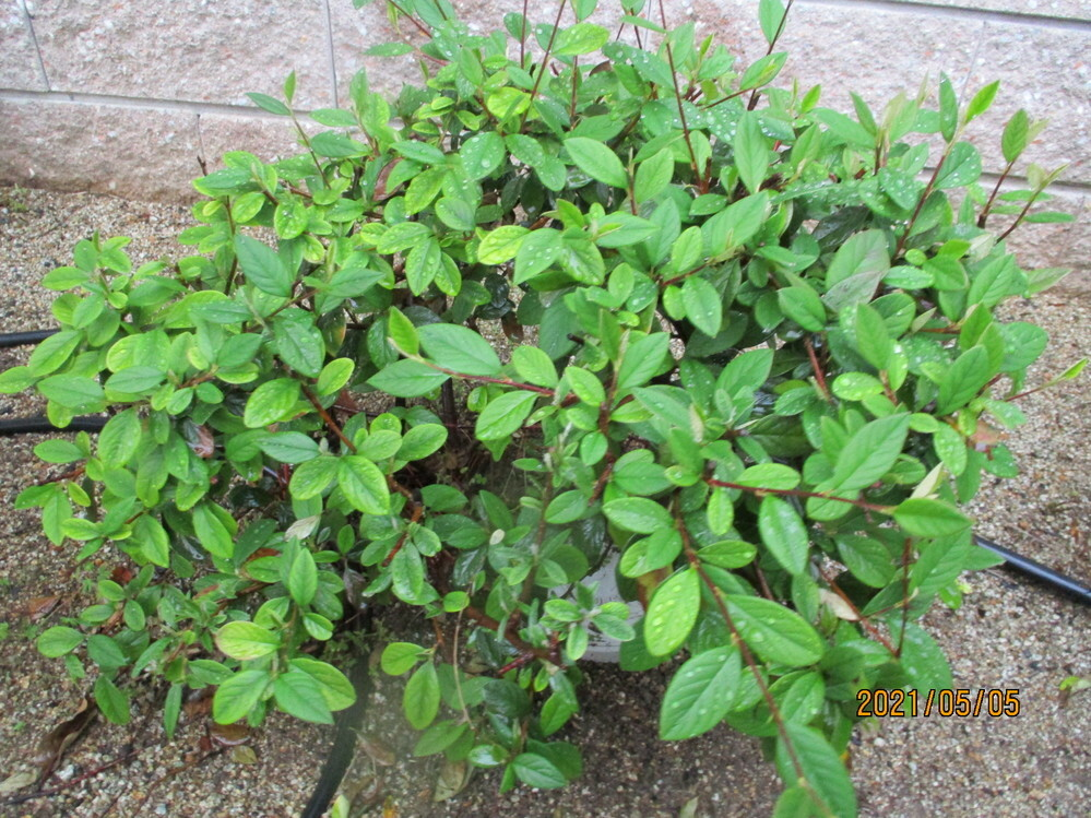 この植物の品種名を教えてください。