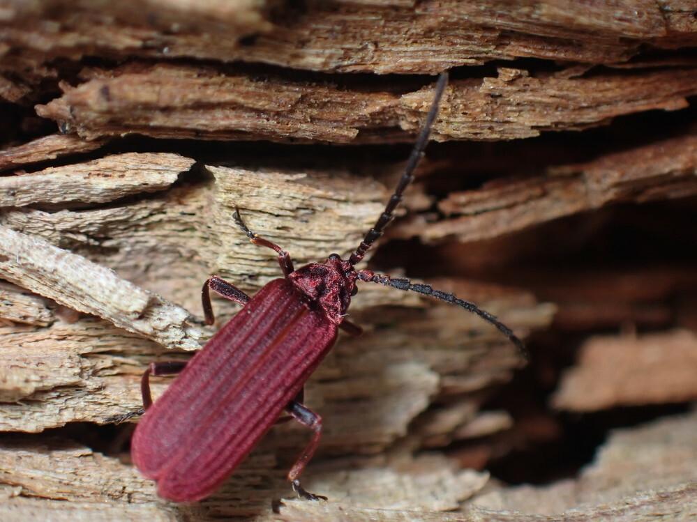 画像の昆虫はベニホタルの一種だと思いますが、詳しい種類はわかりますでしょうか。胸部が不明瞭でよくわかりません。