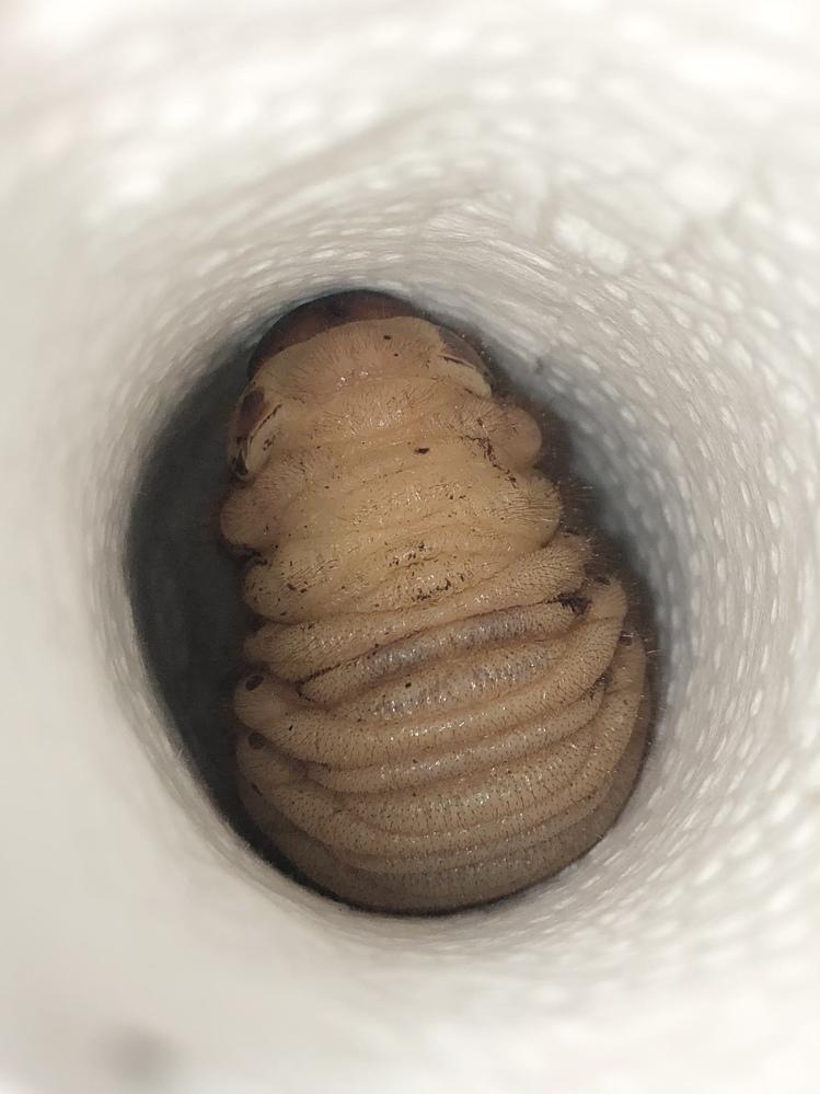 前蛹の国産カブトムシの幼虫ですが、そろそろ蛹になりそうですか?