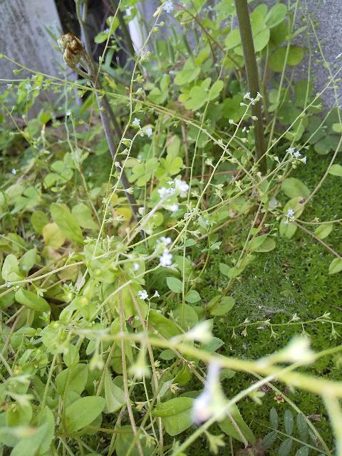 こちらはなんと言う植物ですか?雑草として抜き取るには可愛すぎます。どなたか教えて頂けますか?