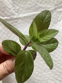 この植物は、ペパーミント、日本ハッカ、また、違うミントなのでしょうか? 家に咲いてるのですが香りは、ハッカです。 お判りになる方、お教え願います。