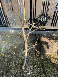 4月後半に花桃を剪定したのですが、現在は写真の状況です。剪定タイミングも遅く、新梢を全て切ってしまいましたが、来年はもう花を咲かせるのは無理でしょうか?