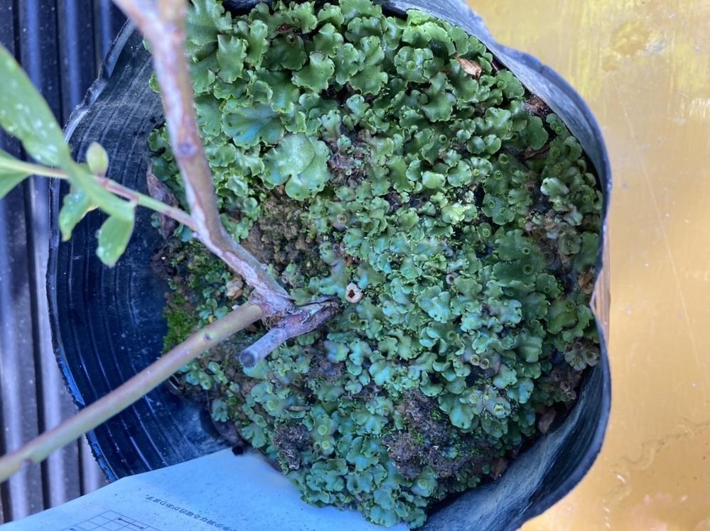 購入したブルーベリーの苗に苔?みたいなのが付いてるんですが、取った方がいいでしょうか? そのままで良ければそれでいいのですが…