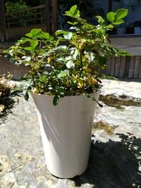 鉢植えのバラがこのように 黄変してしいました 改善方法はありますか