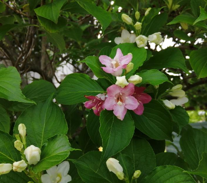 濃いピンクと白の花が源平咲きになった樹を見付けました。樹の高さは3m弱です。 何と言う植物かご存知の方がいらっしゃいましたらお教え下さい。
