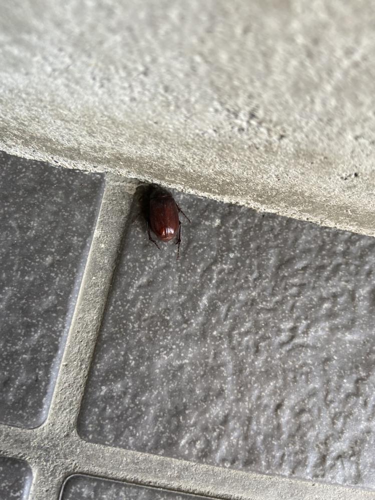 家の玄関から離れない虫がいるんですけど、何の虫か分かる人いますか?? (羽もありそうです)