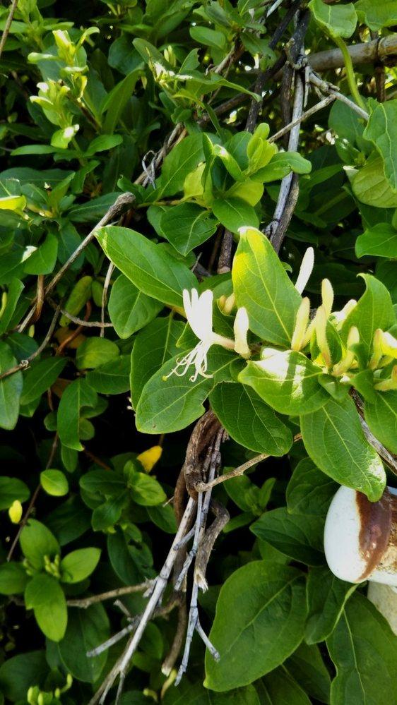 このお花はなんという植物のお花でしょうか? さわやかで甘い良い香りが今の時期しています。 ツル科の植物のようで、枯れた竹などにものすごい勢いで絡まり増え、夏の間中雑草のなかでは大変困らせます。 ただこの時期のこの小さな花は本当に良い香りで、そのギャップにずっと気になっていました。花は3cmほどの幅で、白くツル状に増えていく楕円の葉っぱです。 たくさんあるので、アンフルラージュやハイドロゾルでも作れないかと思っています。 よろしくお願いいたします!