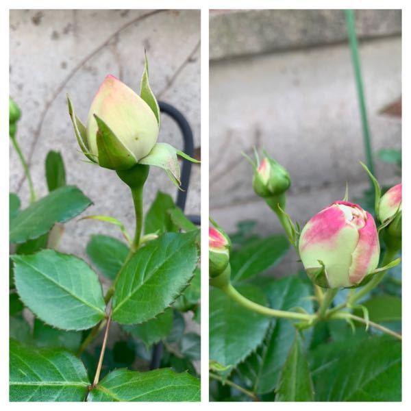 つるバラ ピエールドロンサールについて 詳しい方教えてください。 今年初めて花を付けた太いシュートに 沢山蕾が出来ましたが、あまりいい蕾では無い気がします。以前からの枝から出てる蕾は普通です。 何か違うのでしょうか? 写真添付します。 今年初めて花を付けた枝の蕾は右で、 以前からの枝からの蕾は左です。 右は真ん中少し空洞になっています。
