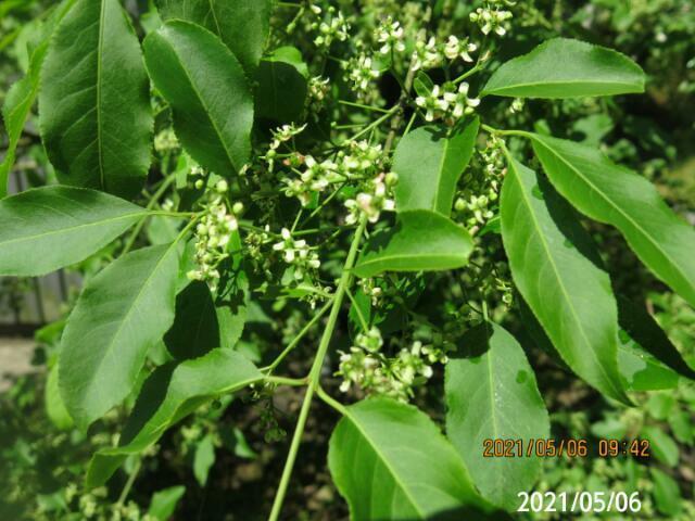 木の名前を教えてください、 岐阜県米田白山近くで、 撮影20210506