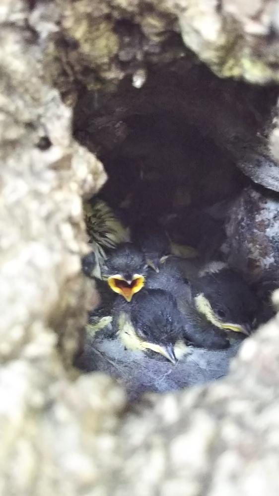 初めて質問致します。 今年初めてシジュウカラが、家の庭の紅葉の地面から1㍍位の所にあるウロに巣を作り、 可愛い雛も生まれ、そっと成長を楽しみにしていたのですが、 今朝親鳥が餌を持ってきたのに 中に入らず飛んでいくのを繰り返しているので不安になり、 除いてみたところ、なかは空っぽ 、まさかと思い地面を見ると放り出された巣の残骸が これは何かに襲われたという事でしょうか 旅立ちまであと少しだったのに、悲しくてたまりません まだ親が餌を持ってきているのが不憫で また巣を作ってくれた時、こんなことがないよう、入り口に敵避けをつけた方がよいでしょうか 3センチくらいの穴を開けた蓋をつけてみようかと思っているのですが、自然の木のためアドバイスを頂けたらありがたいです あと、後のウロのなかは掃除とかしたほうがよいのでしょうか?悲しくてなかを探るのも怖いのですが、きれいにしたらまた来てくれるならやってみようと思います。 ご回答おまちしております。