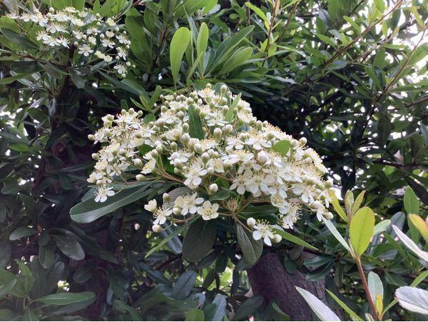 この花の咲いている木の名前を教えてください。 4月25日に撮った写真です。