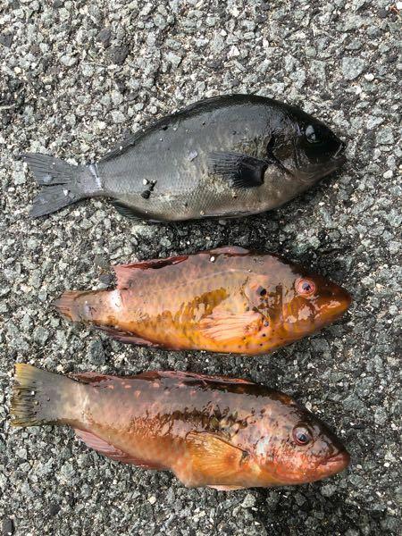 今日魚が三匹釣れましたが、名前が分かりません。分かる方教えてくださいませ。また、刺身にすると美味しいんでしょうか?