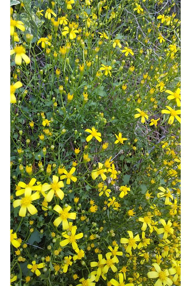 これは、 なんという植物でしょうか? 花の直径は 1.5cmほどの小輪で、高さ70cmほどの 壁面に這い上がるように育っています。 葉も小さく、 マーガレットアイビーでは無さそうに見えます。 初めての質問ですので、 不手際があったら、すみません。