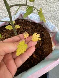 マンションのベランダでトマトの栽培をしてるのですが、最近病気にでもかかったのか、根に近い葉が写真のように枯れてます。 どのように対処すれば良いか教えてください