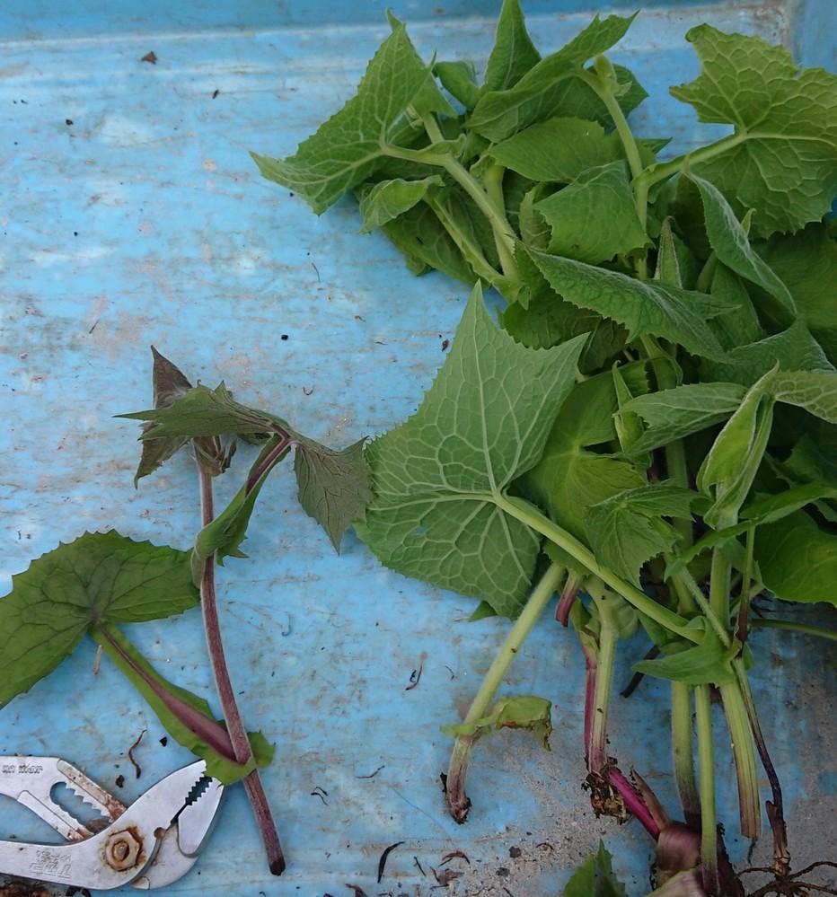 山菜のボンナについて よぶすま‐そ【夜×衾草】 姿は同じなのですが、茎が紫(写真:左)のものは同種ですか?