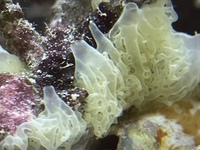 海水水槽のライブロックに発生したものについて教えてください。 海水水槽を立ち上げ約一年ほどになります、 導入時に投入したライブロックに白い物が湧いております、カビでは無いと思うのですが。 卵か何かでしょうか?
