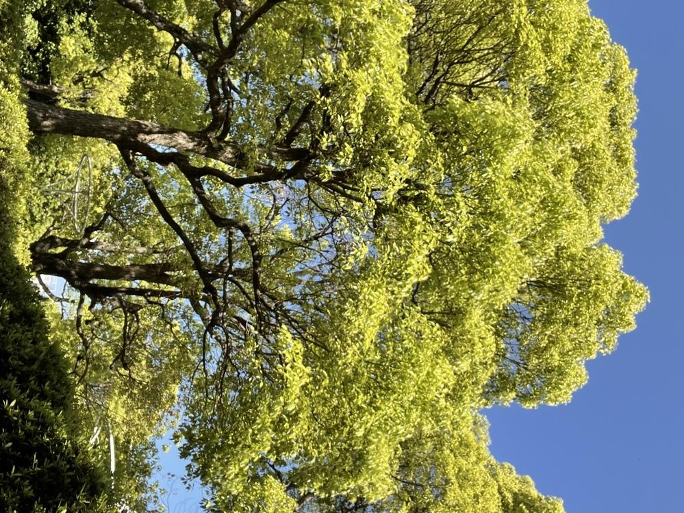 この木の名前を教えてください。 クスノキかなと思っているのですが、 そこまで葉っぱが硬くないように見えるのですが... わかる方いらっしゃいましたら、お願いします。
